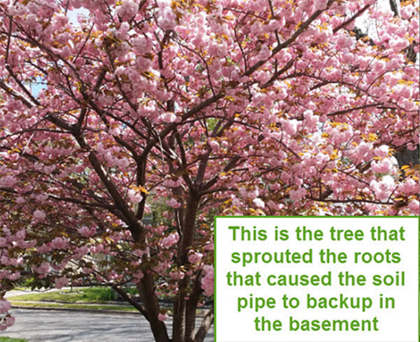 tree roots cause soil pipe backup